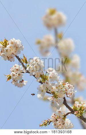 A little bee flies on cherry blossoms
