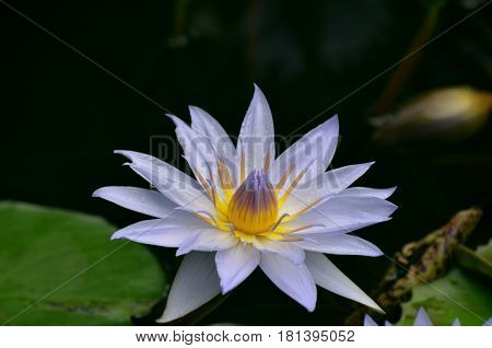 Pale purple water lily blossom flowering in a water garden.