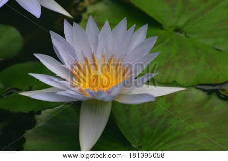 Pale purple water lily flowering in a water garden.