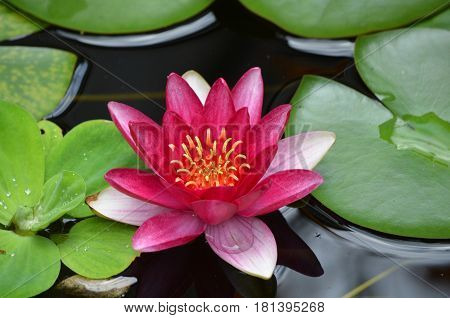 Pretty red water lily in a water garden flowering.