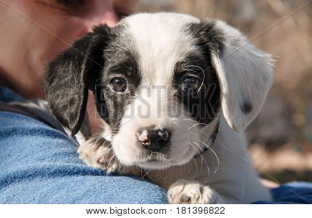 The cuty black and white puppy in hand