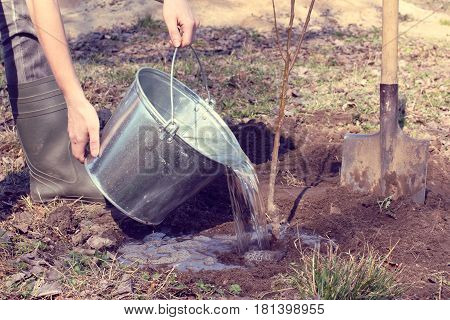 Gardener watering a young seedling of fruit tree after planting / spring works in the garden