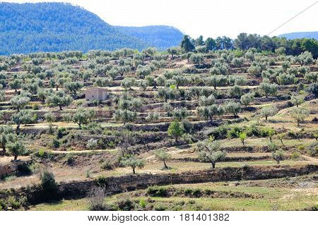 a single stone hut in a terraced spanish olive grove