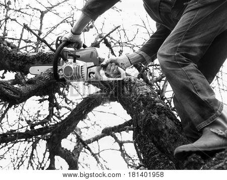 Man standing on a branch cutting apple tree with hand chain saw
