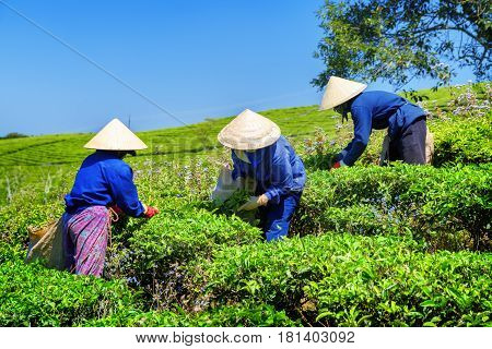 Workers In Traditional Hats Picking Green Tea Leaves