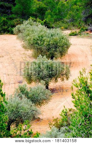 a line of Olive trees in a Spanish olive grove