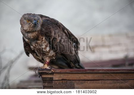portrait of Pernis apivorus Sits on a wooden stand