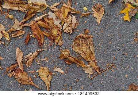 Fallen chestnut yellow leaves on gray asphalt road