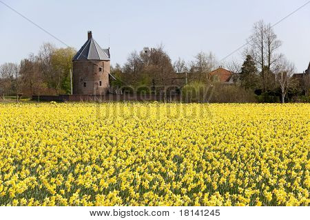 Dutch daffodils field in springtime