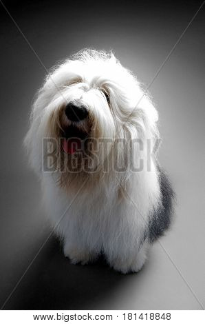 Full length of Old English Sheepdog sitting on blue background