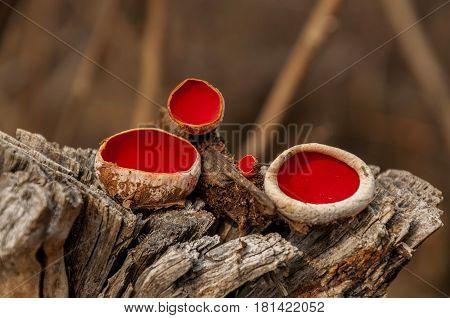 Fungus on dead tree. Scarlet Elf Cup Fungi - Mushroom Sarcoscypha coccinea