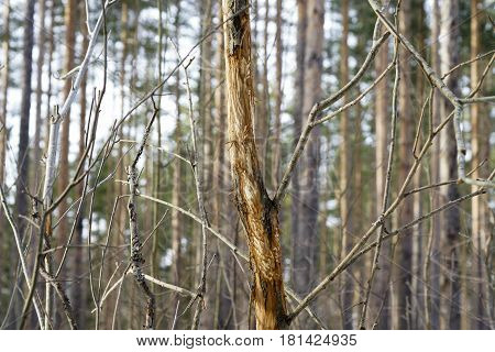 Eat The Bark Of Trees Elk In The Forest In Winter