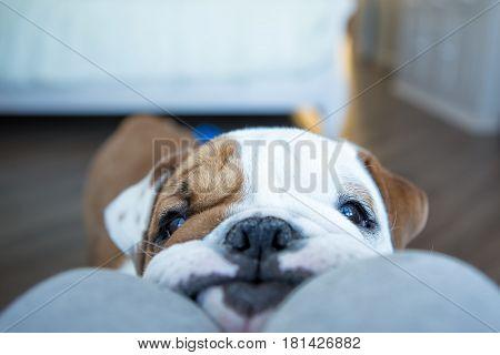 Sad english bulldog dreaming about food at home