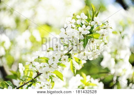 White cherry blossoms. Beautiful flowering cherry  tree. Background with blooming flowers in spring day.