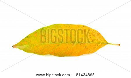 Yellow leaves dry in the summer on white background.
