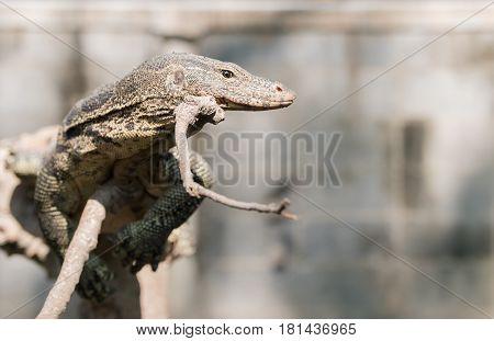 Water monitor or Varanus salvator on branch predator animal