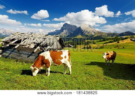 Cows In Seiser Alm, The Largest High Altitude Alpine Meadow In Europe, Stunning Rocky Mountains On T