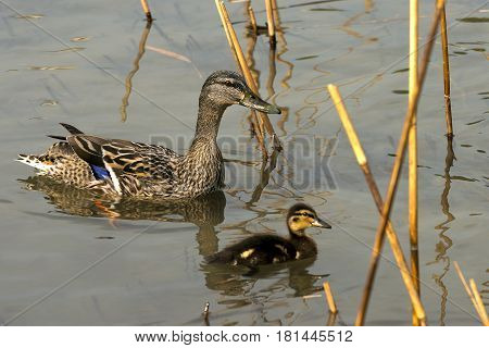 Female mallard duck (Anas platyrhynchos) with a duckling in the water among reeds
