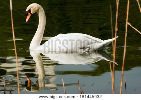 White mute swan (Cygnus olor) in the water while swimming among reeds