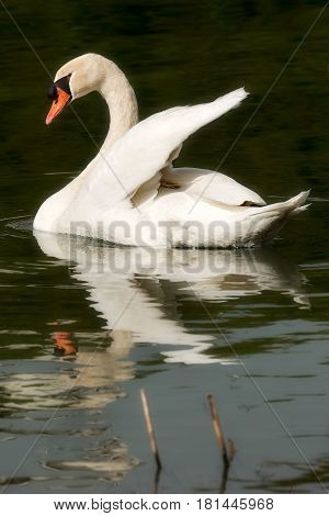 White mute swan (Cygnus olor) in the water while swimming