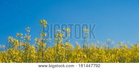Rapeseed Field, Blooming Canola Flowers