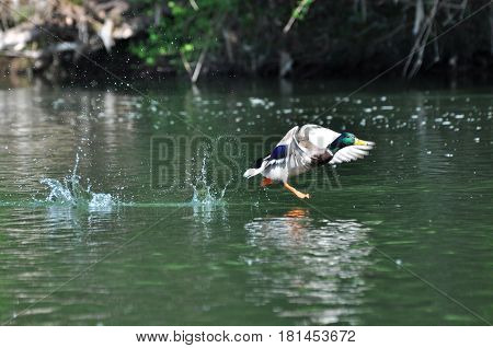 Duck - Mallard (Male), mallard, eurasian wild duck flies, Anas platyrhynchos walking on the water