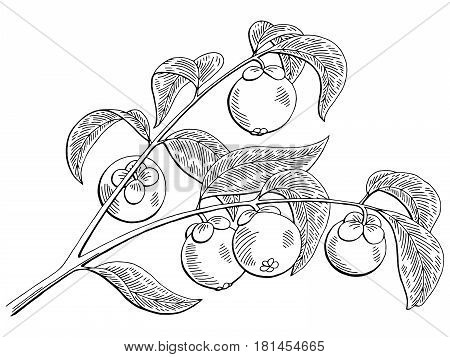 Mangosteen fruit graphic branch black white isolated sketch illustration vector