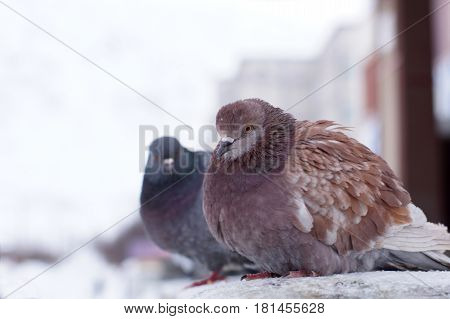 Two Ruffled Pigeons In The Winter On The Street, Sit In One Row
