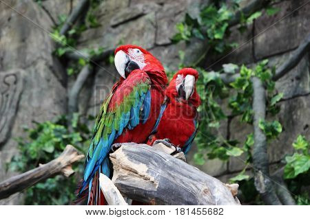 Beautiful parrot ara sitting on a branch in jungle