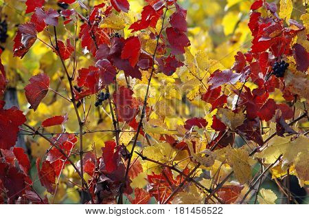 Vineyards background close up of red and yellow leaves and vineyards grapes