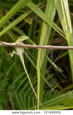 A Green Anole hanging from a branch in the wood.