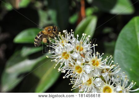 Honey bee collecting nectar on white flower, Honey Bee in flight in front of wild flowers