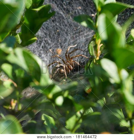 A spider is eating victim in hidden nest