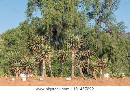 An aloe display at the entrance to Graaff Reinet a town in the Eastern Cape Province of South Africa