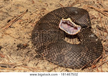 An Eastern Hognose Snake aggressively showing it's rear fangs.