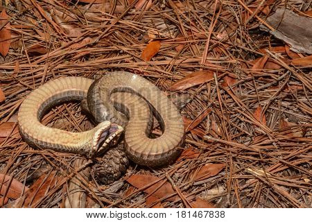An Eastern Hognose Snake defensively playing dead