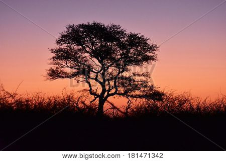 Picture of an acacia tree at sunset, South Africa.