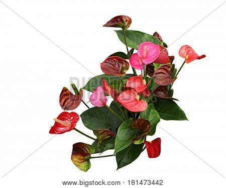 Painted Tongue Flamingo lily flower Plant isolated on white background