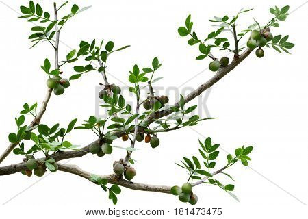 Branch of pinnately compound leaf with 7 leaflets and fruits isolated on white background