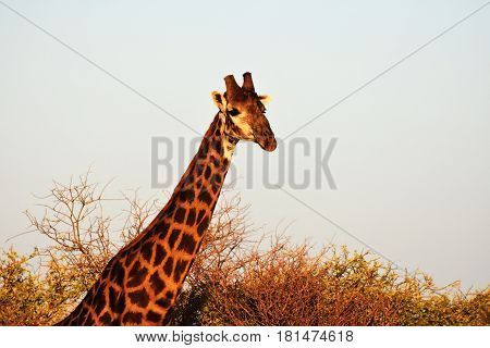 Picture of a giraffe towering above the trees in Madikwe game reserve,South Africa.