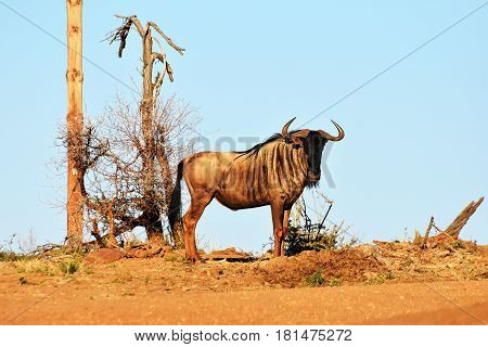 Picture of a blue wildebeest in Madikwe game reserve, South Africa.
