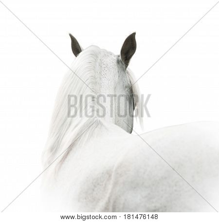 white arabian horse close up view on neck ears and mane