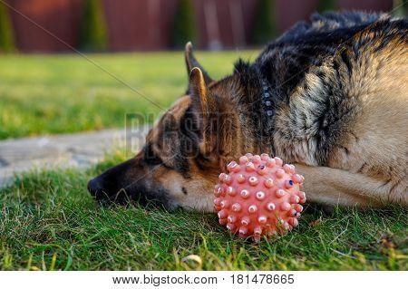 German shepherd dog is playing with ball