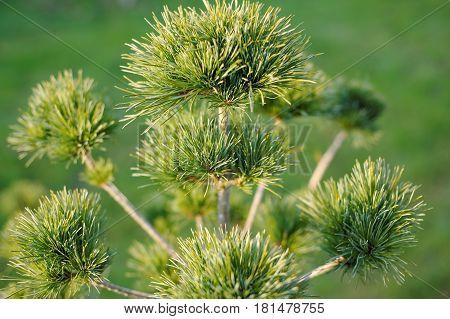 Green pine needles closeup on green background