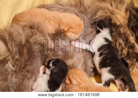 Sweet Cat family - just new born kittens with a mother cat on a yellow cotton. Red, black and white kittens.