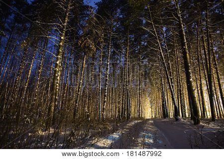 Pine trees in the snow in the forest with a warm glow. Winter beautiful starry night landscape. Astrophotography. Clear starry sky. Slow shutter speed. The spectacular sky. Scenic view in forest. Winter forest. Snow in forest. Night in forest. Frozen fore