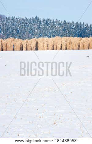 Miscanthus Field In The Snow