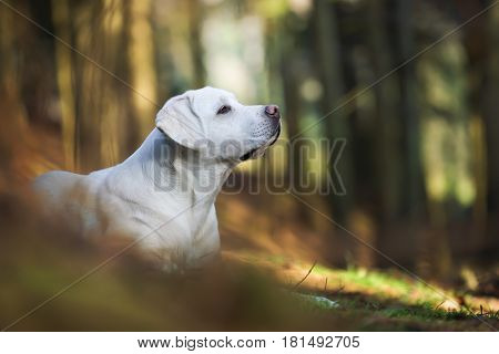 portrait of cute labrador retriever dog puppy in the forest from the side