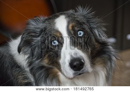 Blue merle Australian Shepherd male dog with beautiful blue eyes