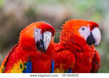 Pair of Scarlet macaw parrots perched side by side